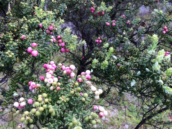 Pūkiawe berries