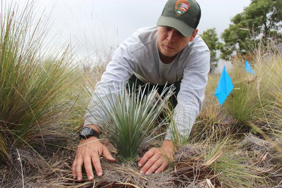 Planting 'āhinahina on Mauna Loa.