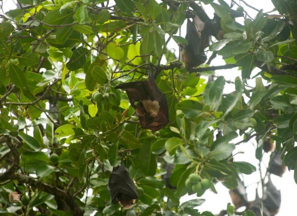 Fruit bats roosting.