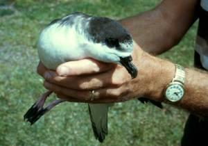 Saving endangered ʻUaʻu or Hawaiian petrel