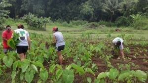 Working in the lo'i at the Kapahu Farm, in the Kīpahulu District of the park.