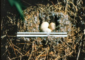 Nēnē eggs in a nest.