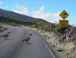 Nēnē crossing the road by Nene Xing sign.