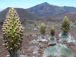 Silversword--endemic, threatened species.