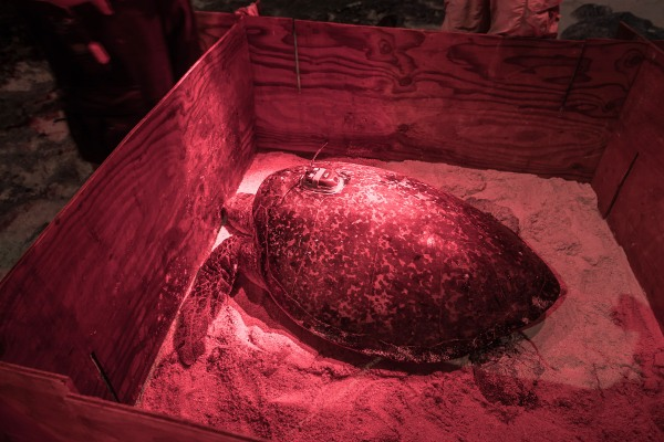A green sea turtle was detected last month in our national park at Ofu island by one of our park crew  during a night patrol. She was intercepted after nesting and tagged with a satellite tracking device that can be seen affixed to her carapace.