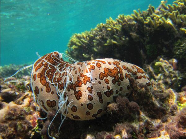 Spotted sea duke