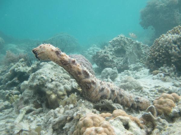 sea cucumber spawns
