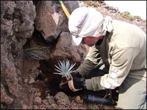 Silversword planting